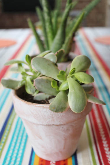 Succulent centerpieces in whitewashed terra cotta planters