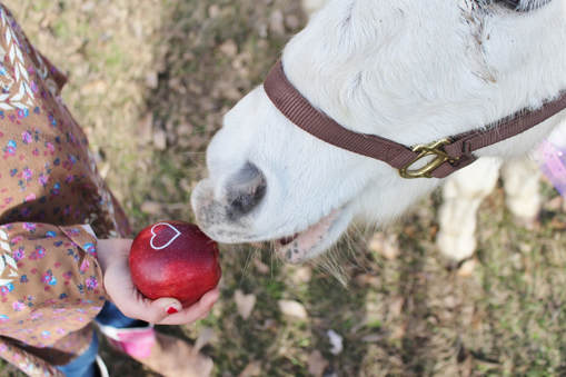 White horse eating a red apple